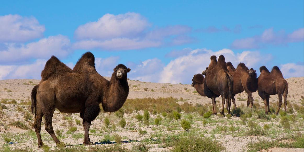 Camels in the Gobi Desert of Mongolia