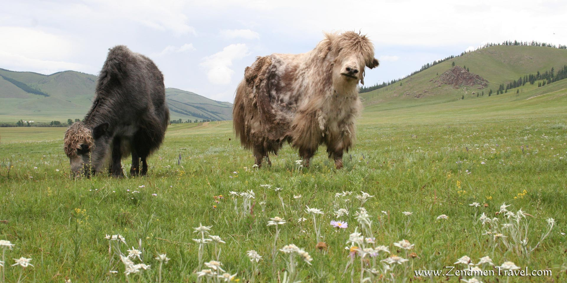 The Incredible Adventures of the Yak in the USA