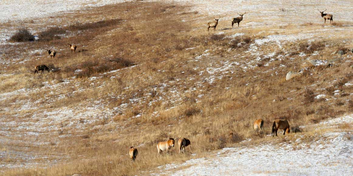 Red Deers and Wild Horses in Hustai National Park