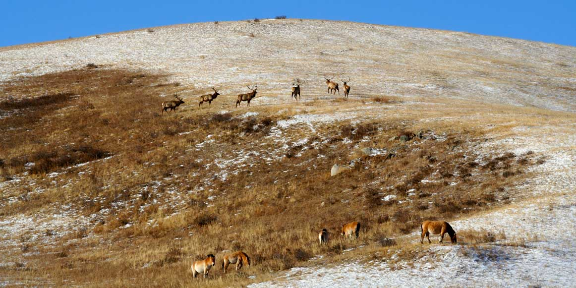 Wild Horses and Red Deers in Hustai National Park