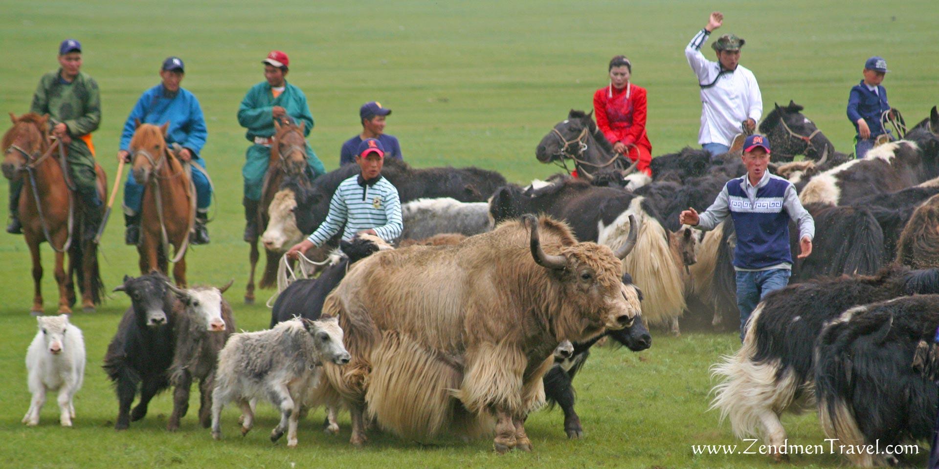 yak lassoing