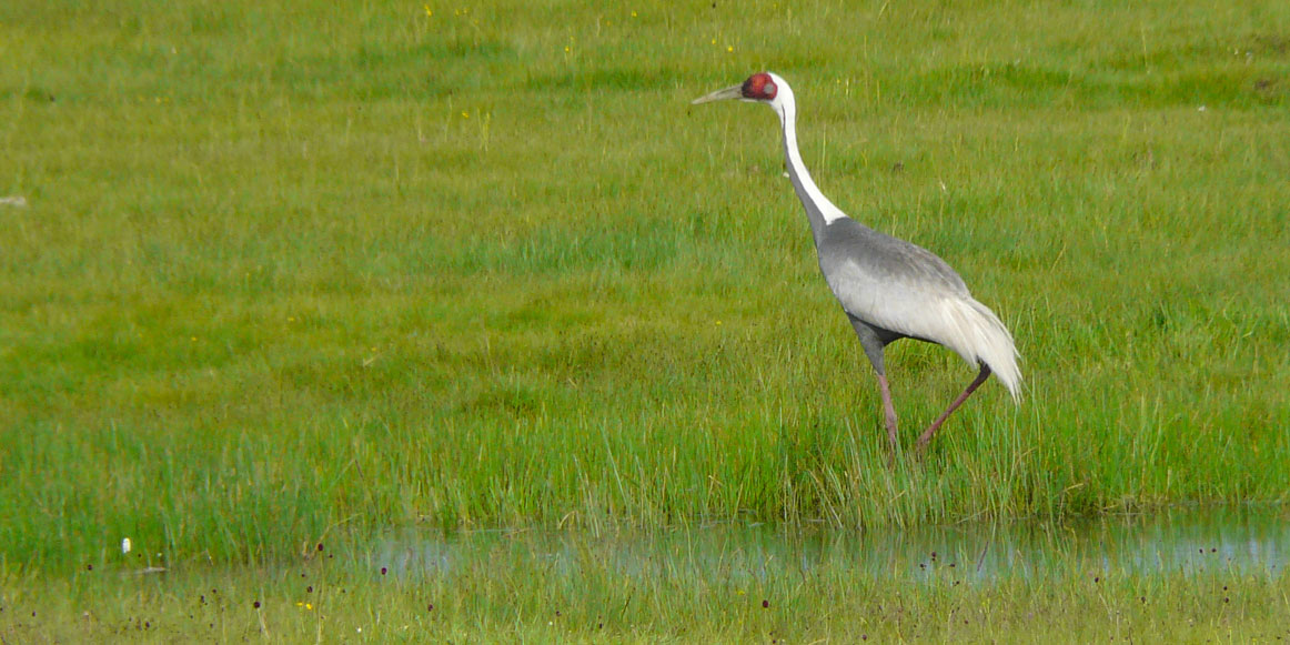 White naped crane eastern mongolia