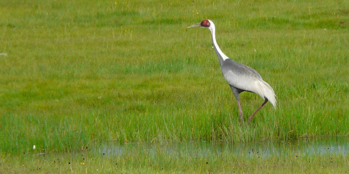 White naped crane eastern mongolia